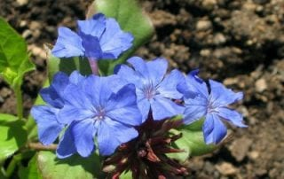 flor Cerato-Ceratostigma