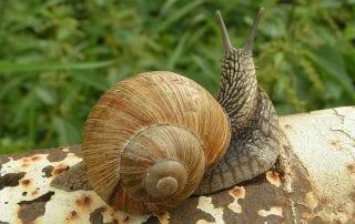 lento caracol